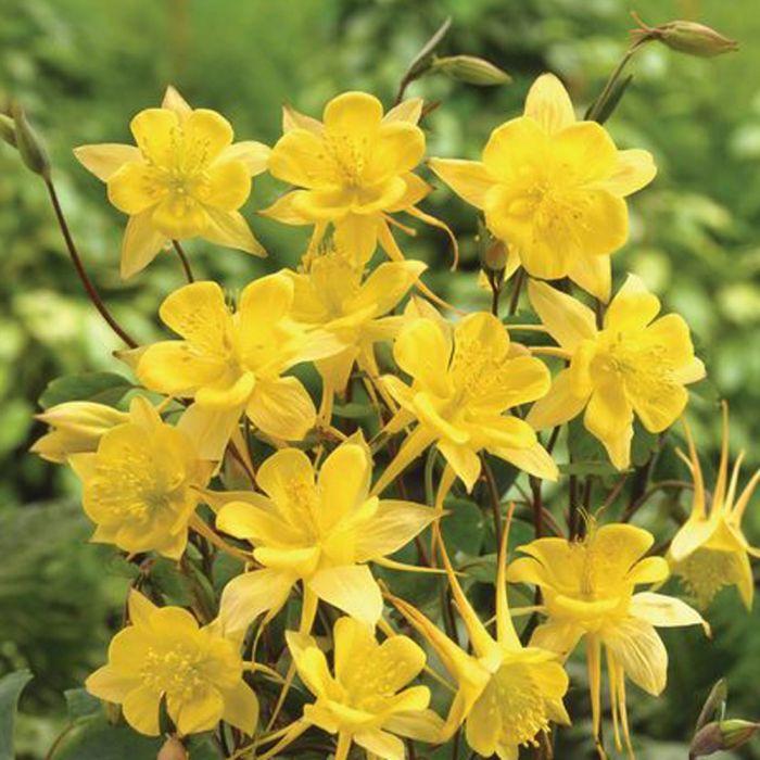 Guldakleja (Aquilegia chrysantha 'Yellow Queen')