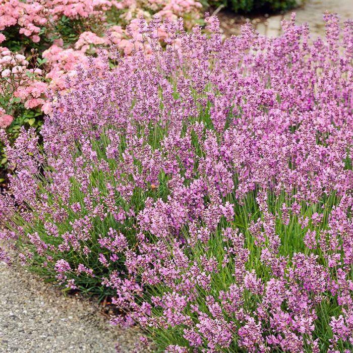 Rosablommande Lavendel 'Rosea' (Lavandula ang. Rosea)