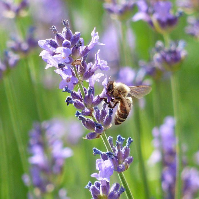 Lavendel (Lavandula angustifolia 'Munstead')